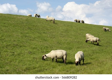 Group of sheep grazing on a meadow