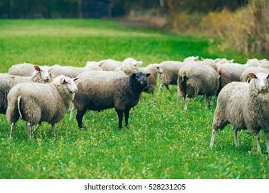 Group of sheep with one black specimen. Exel. Achterhoek. Gelderland. The Netherlands.