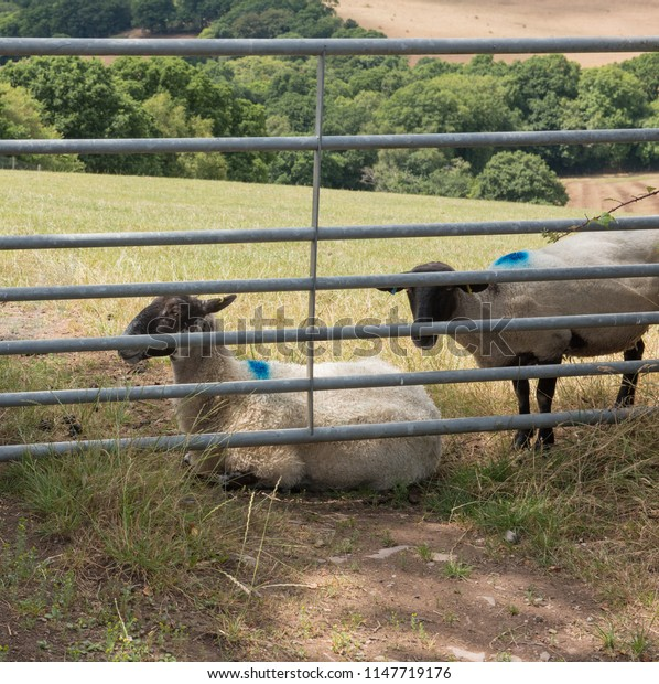 Group of Sheep (Ovis aries) by a Metal Farm Gate in a Field in Rural Devon, England, UK