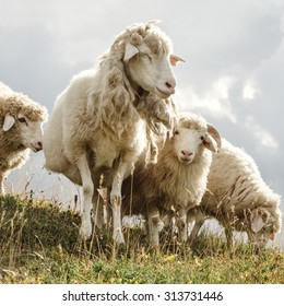 A group of sheep in a pasture in the mountains, cool white lamb