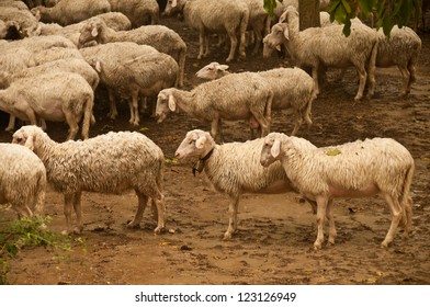 A group of sheep in the rain