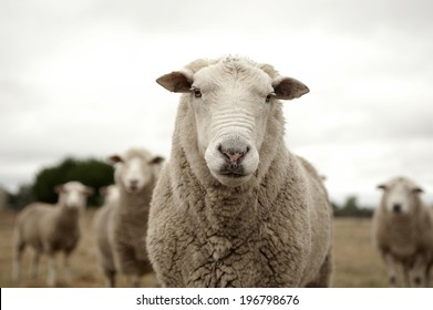 Group of sheep ready to follow