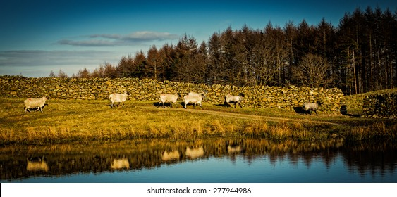 A Group of Sheep in th Lake District