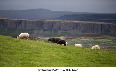 Group of Sheep walking in a grass field