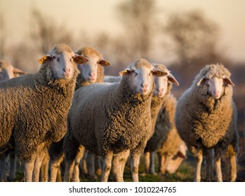 Group of sheep walking on farmland in winter time and looking at camera