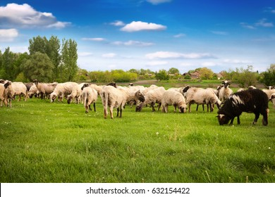 Group of sheeps, herd of sheeps in the meadow on sunny day