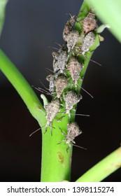 Group of shield bugs nymph, chust bugs nymph (Pentatomoidea) on green branch habitat.