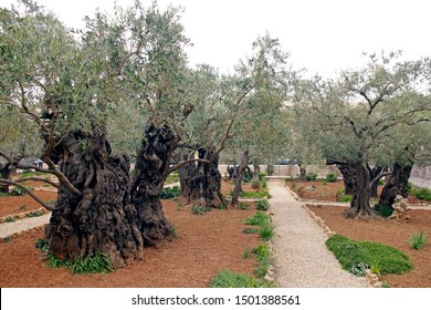 Group shot of trees in Garden of Gethsemane