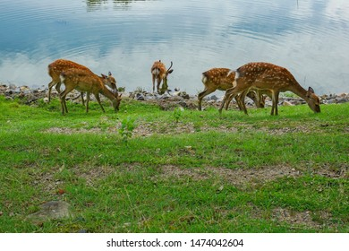 group of sika deer in Nara city,Japan