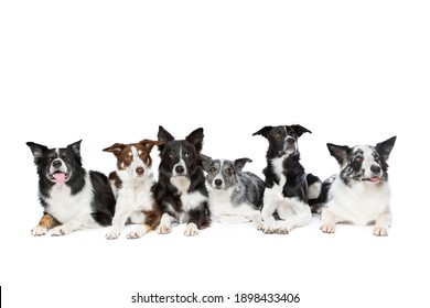 group of six different colours of border collie dogs in front of a white background.