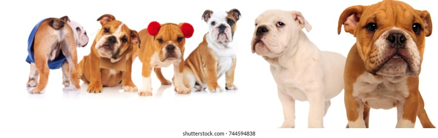 group of six english bulldogs on white background