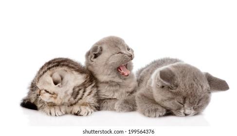 group of sleepy british shorthair kittens. isolated on white background