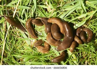 Group of slugs eating in the garden. Spanish slug (Arion vulgaris) invasion in garden. Invasive slug. Garden problem in Europe. Selective focus.