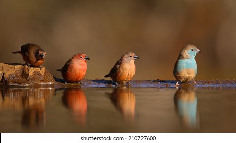 Group of small colorful birds at edge of pond, South Africa