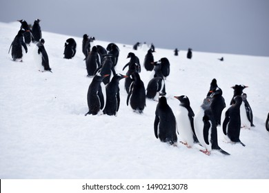 Group of small gentoo penguins try to run away in Antarctica, on the ice