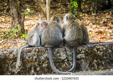 Group of small Grey long-tailed macaque monkeys sleeping at the Uluwatu Temple in Bali, Indonesia.