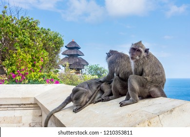 Group of small Grey long-tailed macaques at the Uluwatu Temple in Bali, Indonesia.