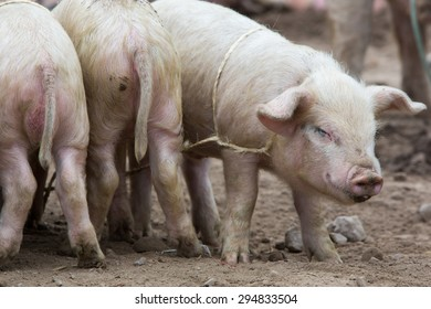 Group of small pink pigs wallowing in the mud at an outdoor live animal market in Otavalo, Ecuador