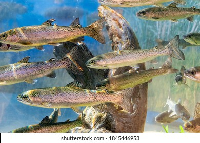 A group of Smolt fish. A Smolt is a stage of a salmon life cycle that is getting ready to go out to sea. - Shutterstock ID 1845446953