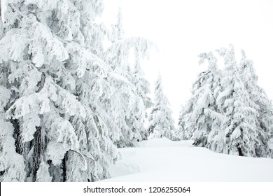 A group of snow covered fir trees near Timberline Lodge on the slopes of Mt Hood, Oregon