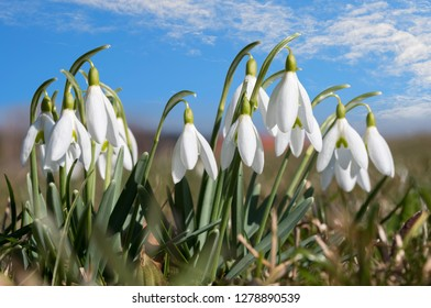 group of snowdrops at sunny day springtime, against blue sky with clouds