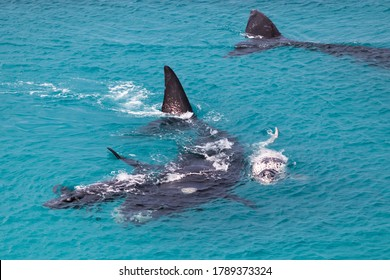 Group of southern right whales. Female whale protecting two calves. White calf is a rare individual. Mother and babies in nursery area at winter time. Nullarbor, Head of Bight, Australia