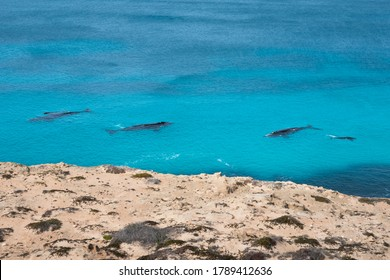 Group of southern right whales swimming parallel off the coast. Cows and calves. Picture taken from shore. Whales close to cliff at Nullarbor, Head of Bight, Australia