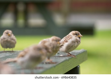 a group of sparrow are standing on a wooden dining table, begging for food. In the front a male sparrow