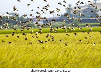 A group of sparrows foraging on golden rice fields. At Taichung city, Taiwan.In  October 2018.