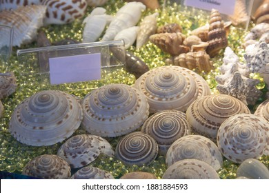 A group of species of seashell,a marine gastropod mollusk in the family Architectonicidae