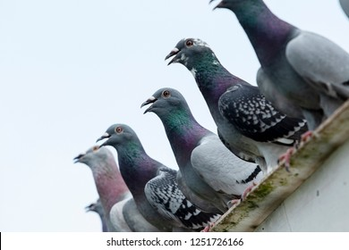 group of speed racing pigeon rest on home roof after hard flying