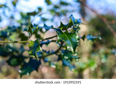a group of spiky green holly leaves on a holly tree in the middle of woodland scene.