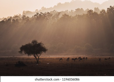 Group of spotted deer Axis axis in natural habitat, Kanha National Park, India. A herd of deer grazing in the field in the evening light. the sun sets behind the trees