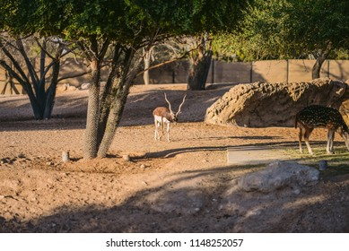 A group of spotted Deer & Blackbuck which known as the Indian antelope, is an antelope found in India, Nepal and Pakistan. The blackbuck is the sole extant member of the genus Antilope