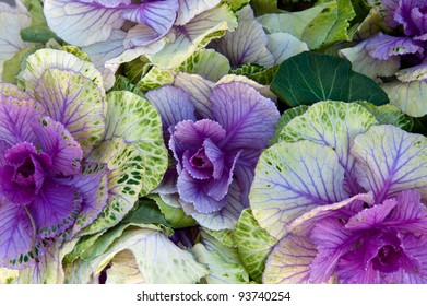 A group of spotted purple cabbage