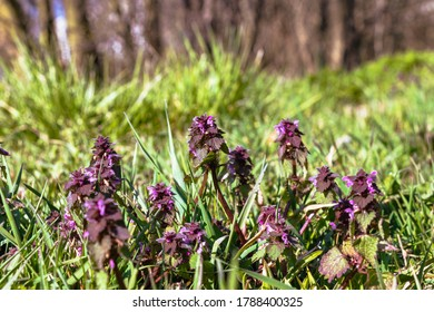 group of spring purple flowers on a meadow with focus on the highest in the middle