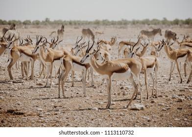Group of springboks gatehered on the dry land