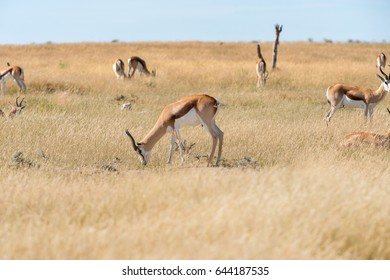 A group of Springboks and Oryx in the Etosha national park in Namibia