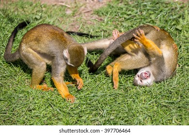 A Group Of Squirrel monkeys Rolling Round Play Fighting