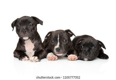 Group of Staffordshire bull terrier puppies on white background. Baby animal theme