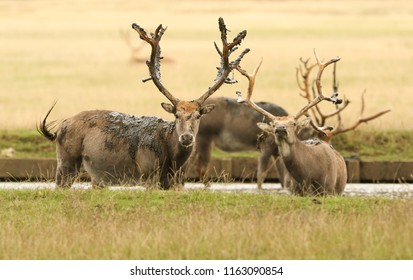 A group of stag Milu Deer, also known as Pére David's (Elaphurus davidianus) standing in water. They have been digging up the mud in the lake with their antlers and then tossing it over themselves.