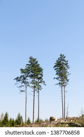 Group with standing tall pine trees in a clear cut forest area