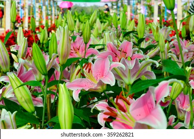 Group of Stargazer lily.