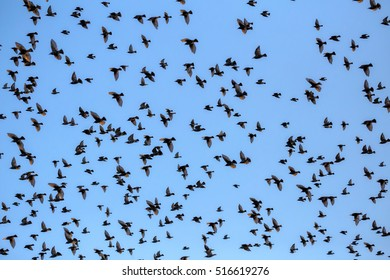 Group of starlings eat very much grapes