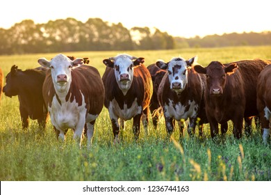 Group of steers looking at the camera, Pampas, Argentina