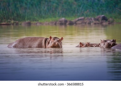 Group of submerged hippos in a lake