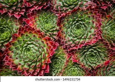 Group of succulents growing wild
