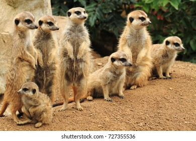 group of suricata animals as nice family photo