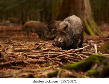 Group of Sus scrofa Wild boar with piglets in autumn beech forest coming directly to camera. Colorful orange leaves on the ground, blurred trees in background. European lowland forest.