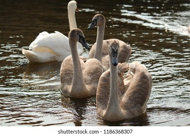 A group of swan cygnets with an adult mute swan